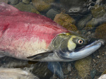 Photo: Salmon farming: A grave concern, a great hope