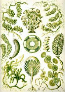 Algae - Chlorella